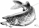 northern pike - voracious piscivorous pike of waters of northern hemisphere