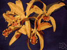 cattleya - any orchid of the genus Cattleya characterized by a three-lobed lip enclosing the column
