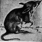bandicoot - any of various agile ratlike terrestrial marsupials of Australia and adjacent islands
