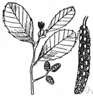 alder tree - north temperate shrubs or trees having toothed leaves and conelike fruit