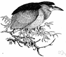 Nycticorax nycticorax - night heron of both Old and New Worlds