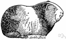 cavy - short-tailed rough-haired South American rodent