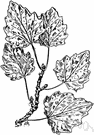 abele - a poplar that is widely cultivated in the United States
