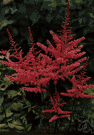 astilbe - any plant of the genus Astilbe having compound leaves and showy panicles of tiny colorful flowers