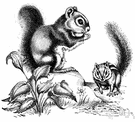 rock squirrel - large grey ground squirrel of rocky areas of the southwestern United States