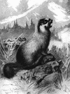 hoary marmot - large North American mountain marmot