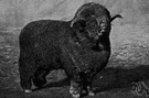 Rambouillet - hardy sheep developed from the merino producing both good mutton and fine wool