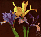 xiphium iris - bulbous iris of western Mediterranean region having usually violet-purple flowers