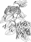 black haw - upright deciduous shrub having frosted dark-blue fruit
