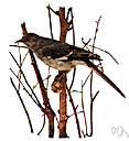 family Mimidae - sometimes considered a subfamily of Troglodytidae: mockingbirds