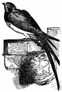 Chateura pelagica - American swift that nests in e.g. unused chimneys