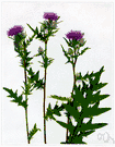 Cirsium heterophylum - perennial stoloniferous thistle of northern Europe with lanceolate basal leaves and usually solitary heads of reddish-purple flowers