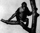 Pongo pygmaeus - large long-armed ape of Borneo and Sumatra having arboreal habits