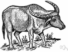 carabao - water buffalo of the Philippines