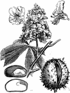 horse chestnut - tree having palmate leaves and large clusters of white to red flowers followed by brown shiny inedible seeds