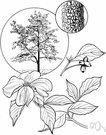 common white dogwood - deciduous tree