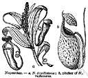 tropical pitcher plant - any of several tropical carnivorous shrubs or woody herbs of the genus Nepenthes