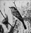 peewee - small olive-colored woodland flycatchers of eastern North America