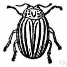 Colorado potato beetle - black-and-yellow beetle that feeds in adult and larval stages on potato leaves