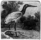 wood ibis - an American stork that resembles the true ibises in having a downward-curved bill