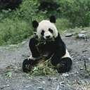 Ailuropoda melanoleuca - large black-and-white herbivorous mammal of bamboo forests of China and Tibet