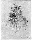 Cycloloma - a caryophyllaceous genus of the family Chenopodiaceae
