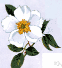 Cherokee rose - Chinese climbing rose with fragrant white blossoms