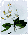 stone-root - erect perennial strong-scented with serrate pointed leaves and a loose panicle of yellowish flowers