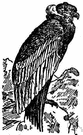 Vultur gryphus - large vulture of the high Andes having black plumage and white neck ruff