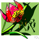 leopard lily - lily of western United States having orange-red to crimson maroon-spotted flowers
