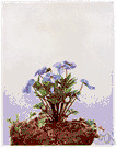 Johnny-jump-up - common violet of the eastern United States with large pale blue or purple flowers resembling pansies