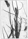 sandspur - grass of the eastern United States and tropical America having spikelets enclosed in prickly burs