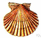 Scallop - one of a series of rounded projections (or the notches between them) formed by curves along an edge (as the edge of a leaf or piece of cloth or the margin of a shell or a shriveled red blood cell observed in a hypertonic solution etc.)