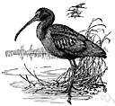 Aramus guarauna - wading bird of South America and Central America