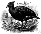 scrub fowl - large-footed short-winged birds of Australasia