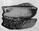 Arca - type genus of the family Arcidae: ark shells and blood clams