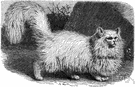 Persian cat - a long-haired breed of cat