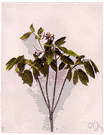 squawroot - tall herb of eastern North America and Asia having blue berrylike fruit and a thick knotty rootstock formerly used medicinally