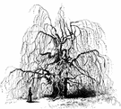 weeping beech - variety of European beech with pendulous limbs