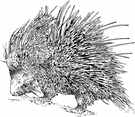 porcupine - relatively large rodents with sharp erectile bristles mingled with the fur