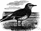 Aphriza virgata - sandpiper-like shorebird of Pacific coasts of North America and South America
