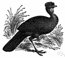 guan - any of several large turkey-like game birds of the family Cracidae