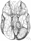 right brain - the cerebral hemisphere to the right of the corpus callosum that controls the left half of the body