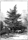 Cedrus libani - cedar of Lebanon and northwestern Syria that attains great age and height