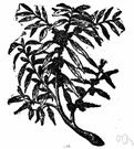 puckerbush - evergreen aromatic shrubby tree of southeastern United States having small hard berries thickly coated with white wax used for candles