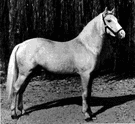 palomino - a horse of light tan or golden color with cream-colored or white mane and tail