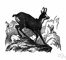 chamois - hoofed mammal of mountains of Eurasia having upright horns with backward-hooked tips