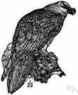 genus Gypaetus - in some classifications the type genus of the family Aegypiidae