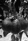 avocado - tropical American tree bearing large pulpy green fruits