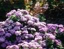 common ageratum - small tender herb grown for its fluffy brushlike blue to lavender blooms